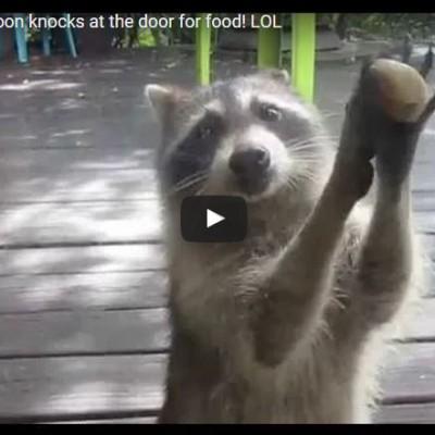 Wasbeer 'klopt' op het raam omdat het kattenvoer op is..